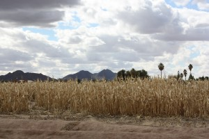 queen creek, corn
