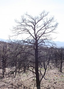 Royal Gorge, tree
